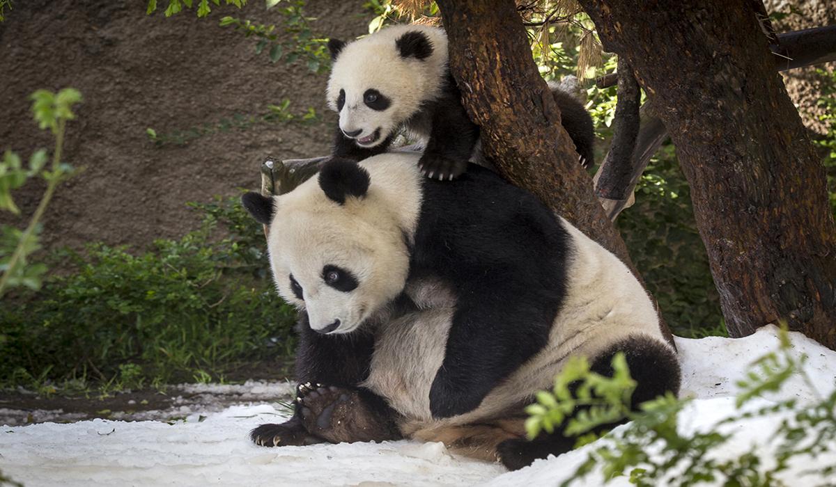 Image Credit: San Diego Zoo