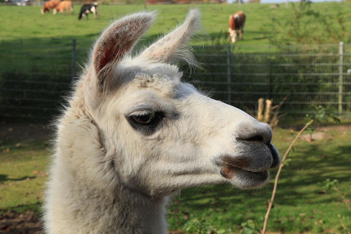 21 Funny Llama Memes If You Don't Need No Drama