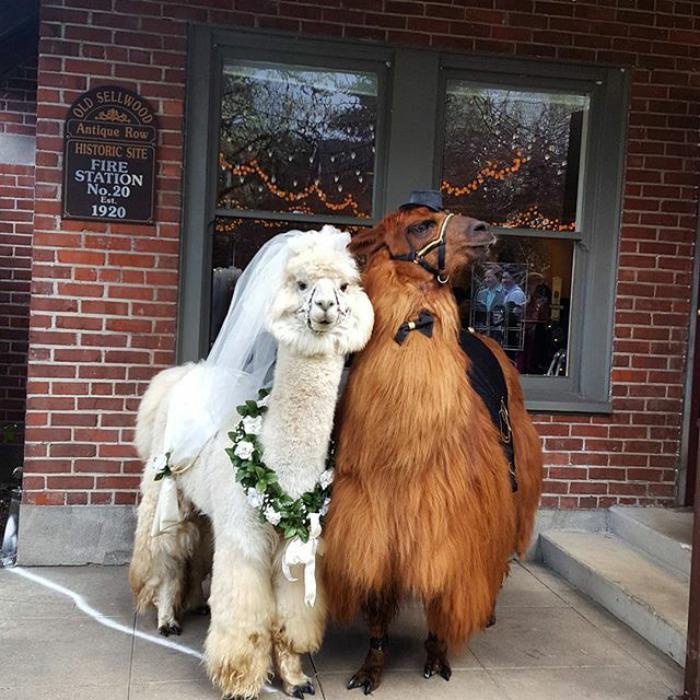 llamas in weddings