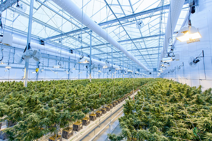 Cannabis Automation Is a Game-Changer for the Industry, but Will It Cost Jobs?