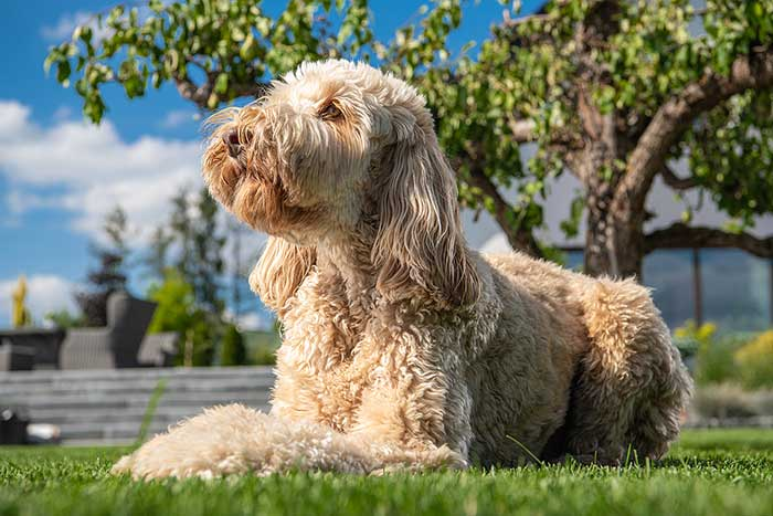 Positives and Negatives of Adopting a Rescue Goldendoodle