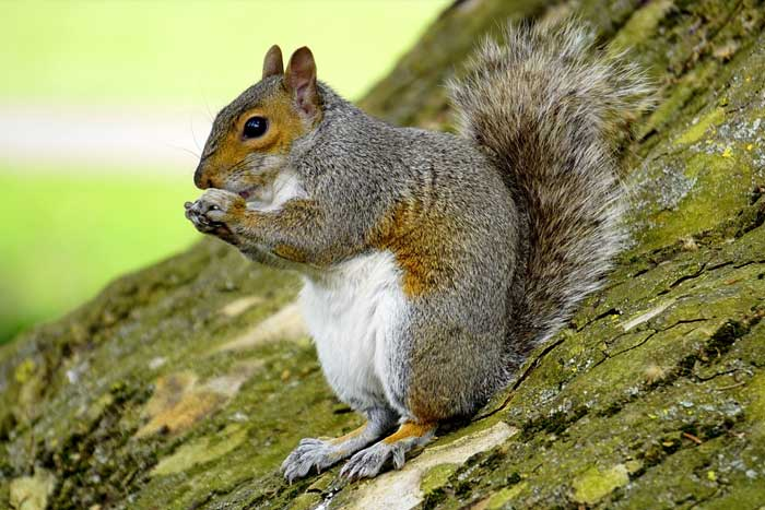Why Squirrels Are Pest And How You Should Deal With Them